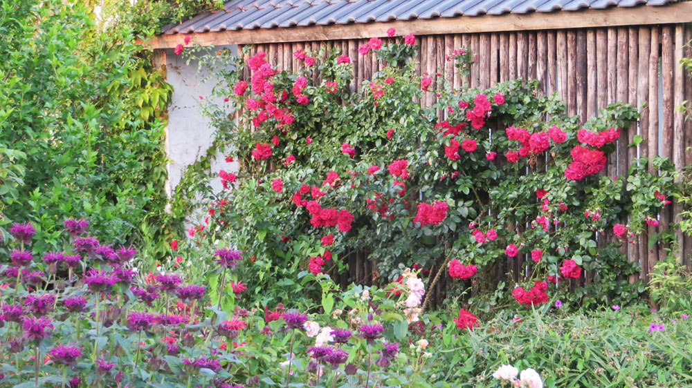 Rosa Tradition Long Border Viller the Garden