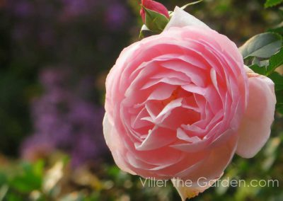 rosa-heritage-with-aster